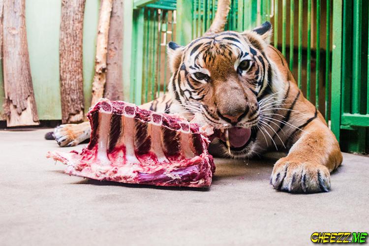 Зоопарк в Праге кормление тигра