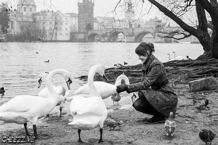 Карлов мост и лебеди на набережной в Праге фото