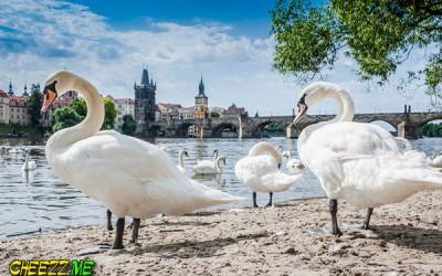 Прогулка по Праге - лебеди и Карлов мост