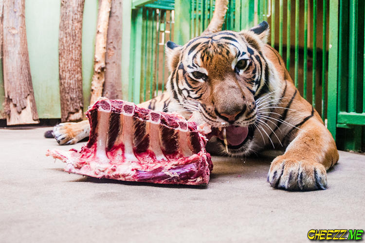 Zoo in Prague - Tiger and Meat