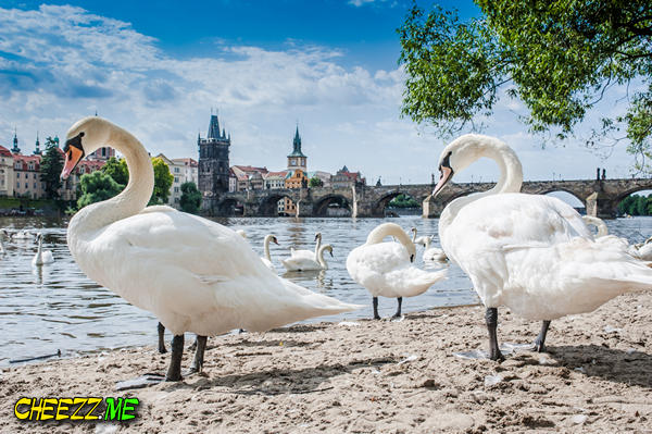 Prague private tour with guide photographer Swans on the waterfront Charles Bridge view